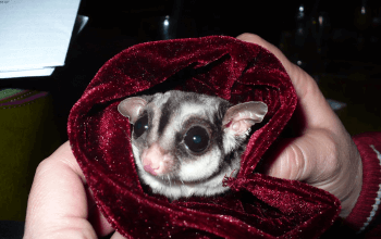 Sugar Glider Introductions, Glider Wound Care