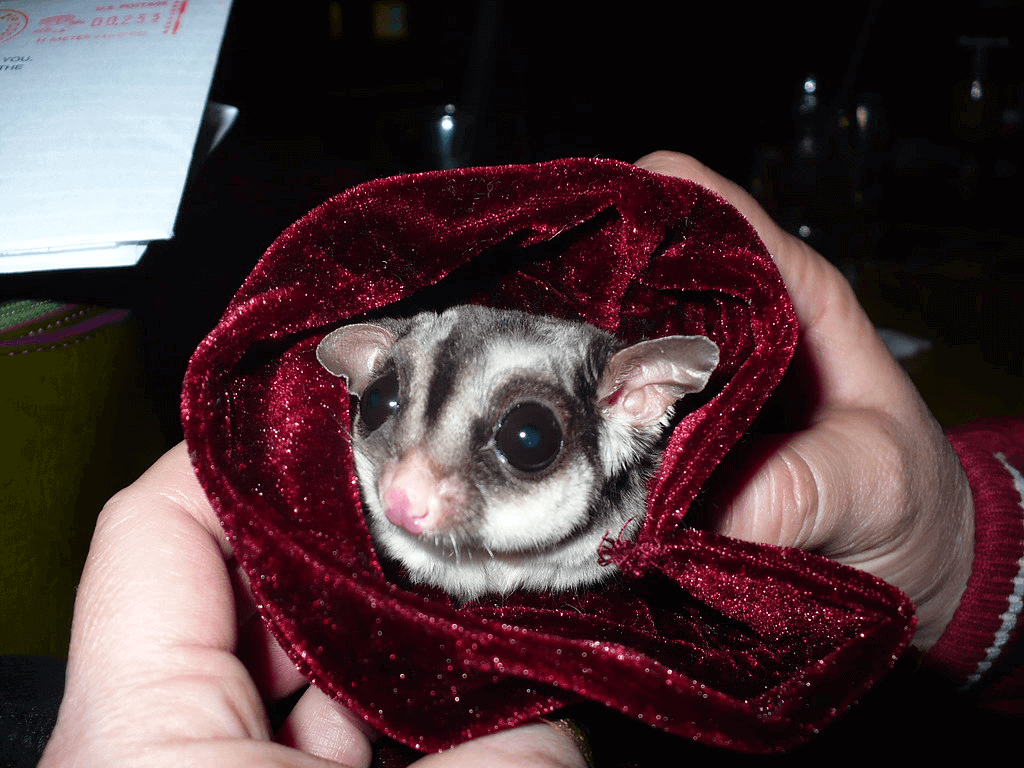 Sugar Glider Wrapped in Blanket
