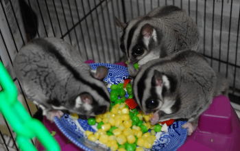 Adding an Intact Male to a Neutered Male / Female Pair, Dear Arnold, Can Solar Flares Affect Sugar Glider Behavior?