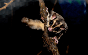 Should cages be covered?; Are sugar gliders messy?; Do gliders Make Noise?; Rare Colored Gliders Available