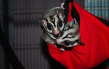 "Product Testing, Bonding with Sugar Gliders in ""Room Cages""?"