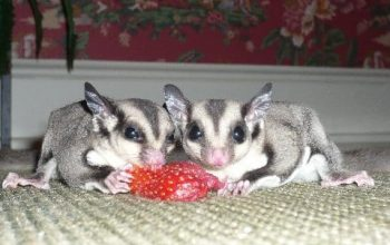 Diabetics Smell Like Fruit, A Tale of Two Sugar Glider Colors