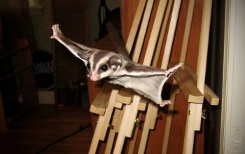 Becoming a Sugar Glider Breeder, Dealing with Picky Eaters Part II