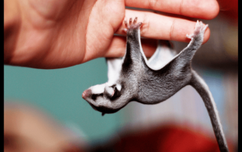 Caught in Glue Trap Follow-up,  The Worst In Home Hazards to Sugar Gliders, Cataracts