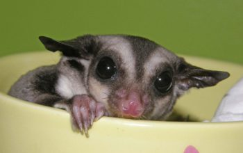 Temperament Changes in Breeding Sugar Gliders, Cage to Bonding Pouch; Changing Staple Foods