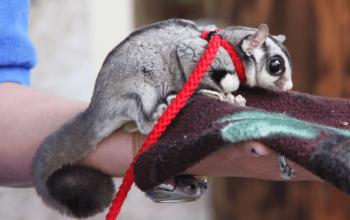 Dear Arnold; Why do Sugar Gliders bite?