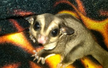 Starter Cages; When are Sugar Gliders Too Young to Adopt, Too Old to Bond?; Can Gliders Get Mad?