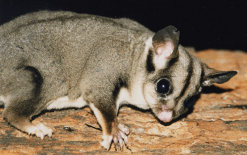 Glider Myth Busters: Things Some Sugar Glider Sellers Say that We Disagree With