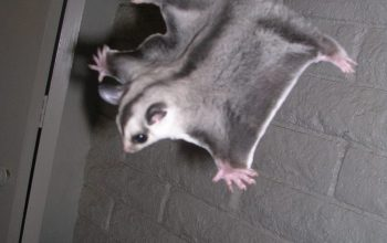 Foraging Toys, Shipping Sugar Gliders,  Is a Staple Food Really Important?