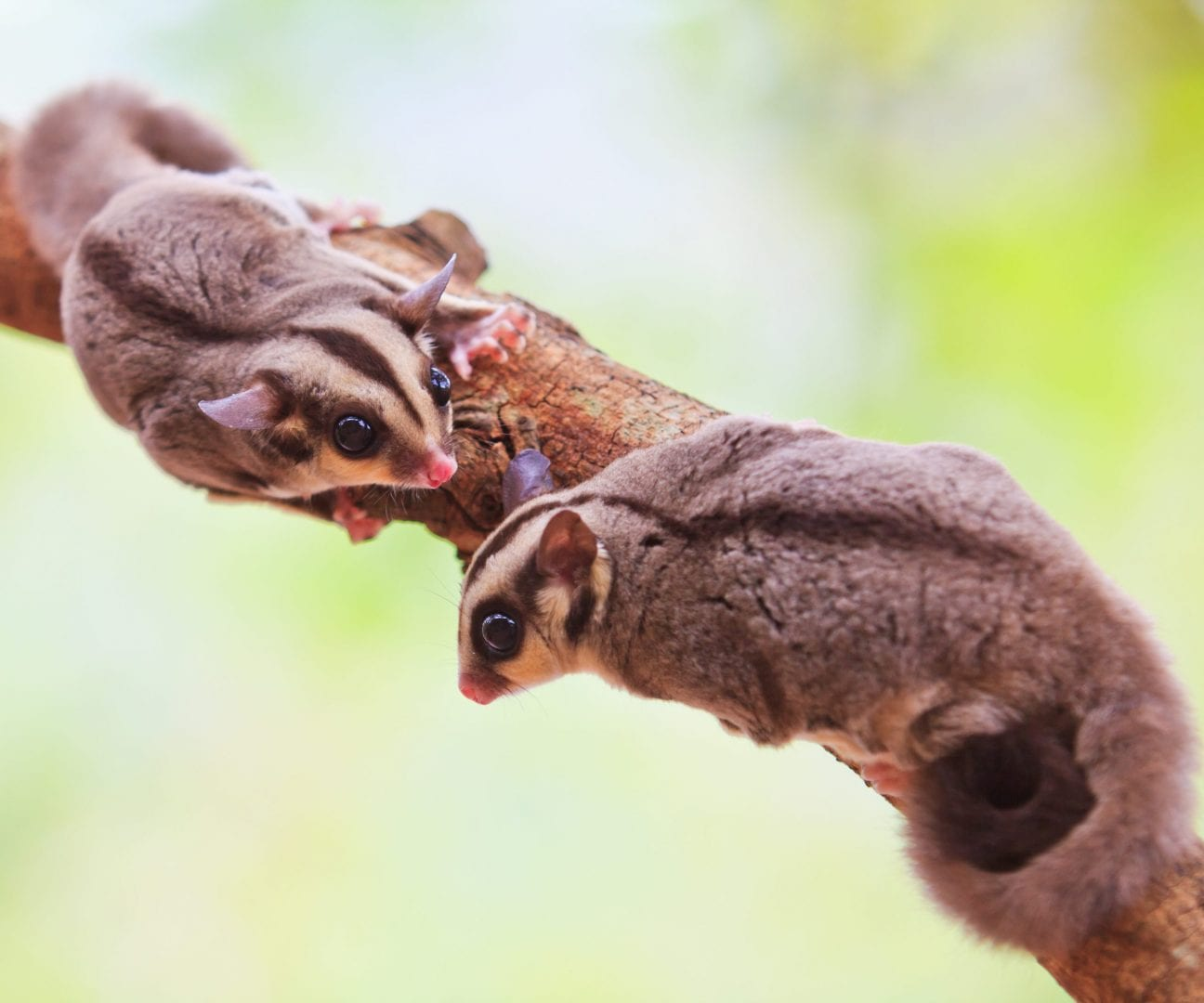Two sugar gliders on a tree branch