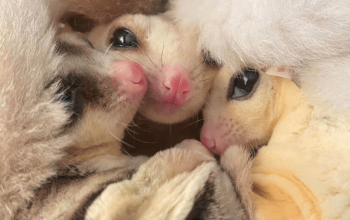 The Accidental Sugar Glider Rescuer
